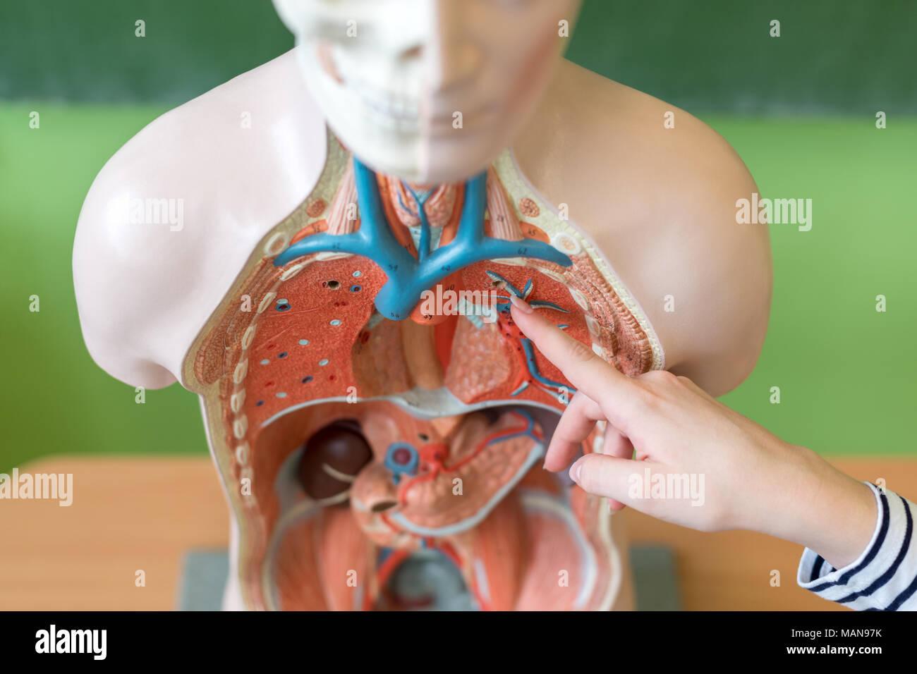 Atractivo Imagen De Los órganos Del Cuerpo Muestra A La Hembra ...