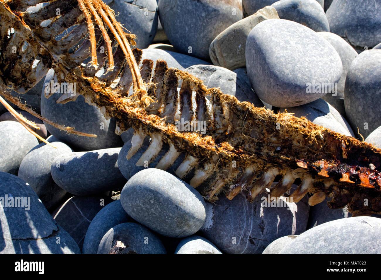 Vértebras detallada sección de una junta gris esqueleto arrastrados ...