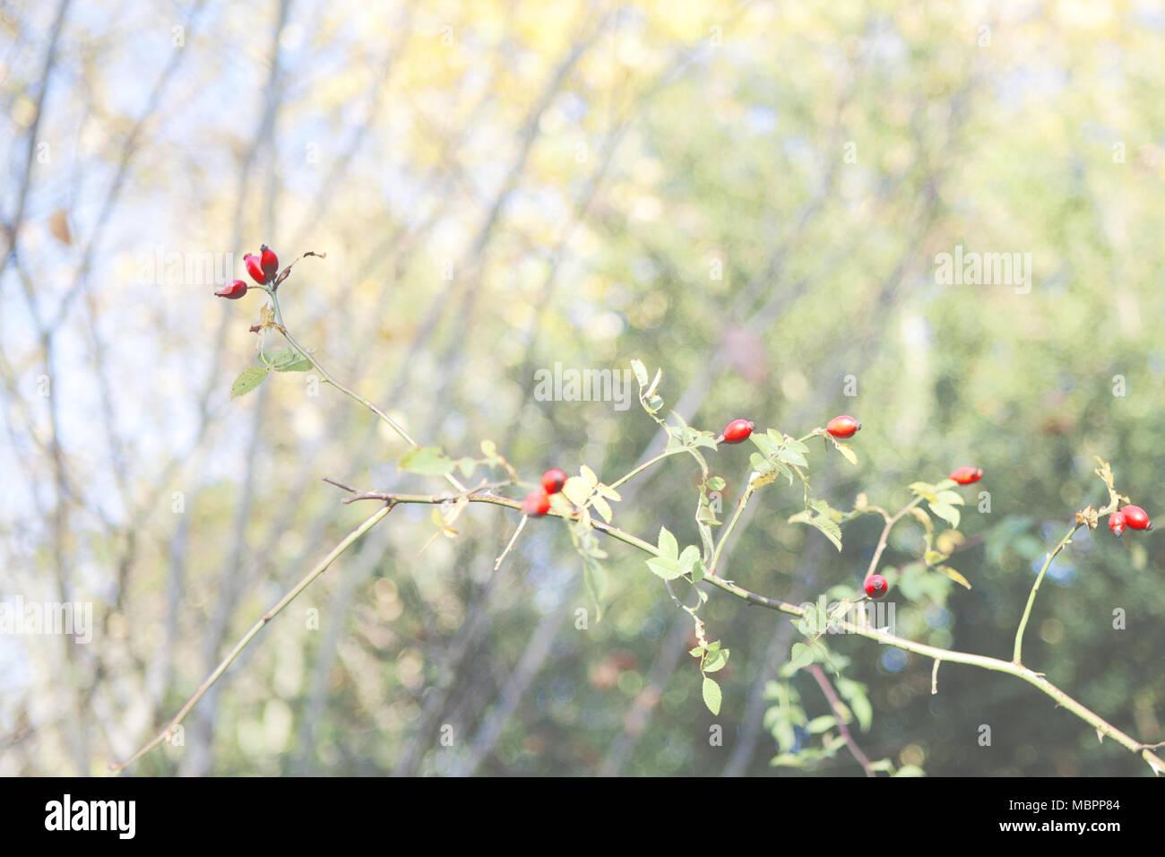 El perro Rose (Rosa canina), una planta de seto común en el sur de ...