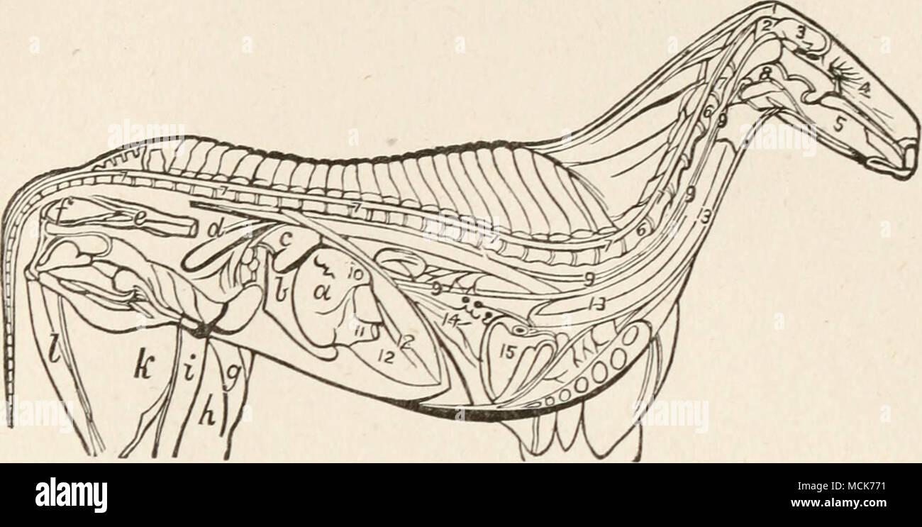 FIG. 20.- Anatomía interna del caballo. 1. La encuesta o occipucio ...