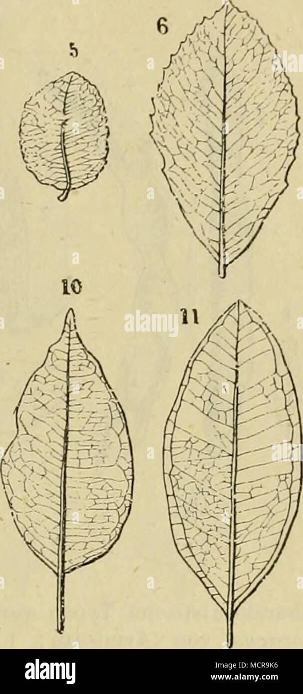 Charakteristische Typen Verschiedener Oligocener Gewachse 1 Bis 2