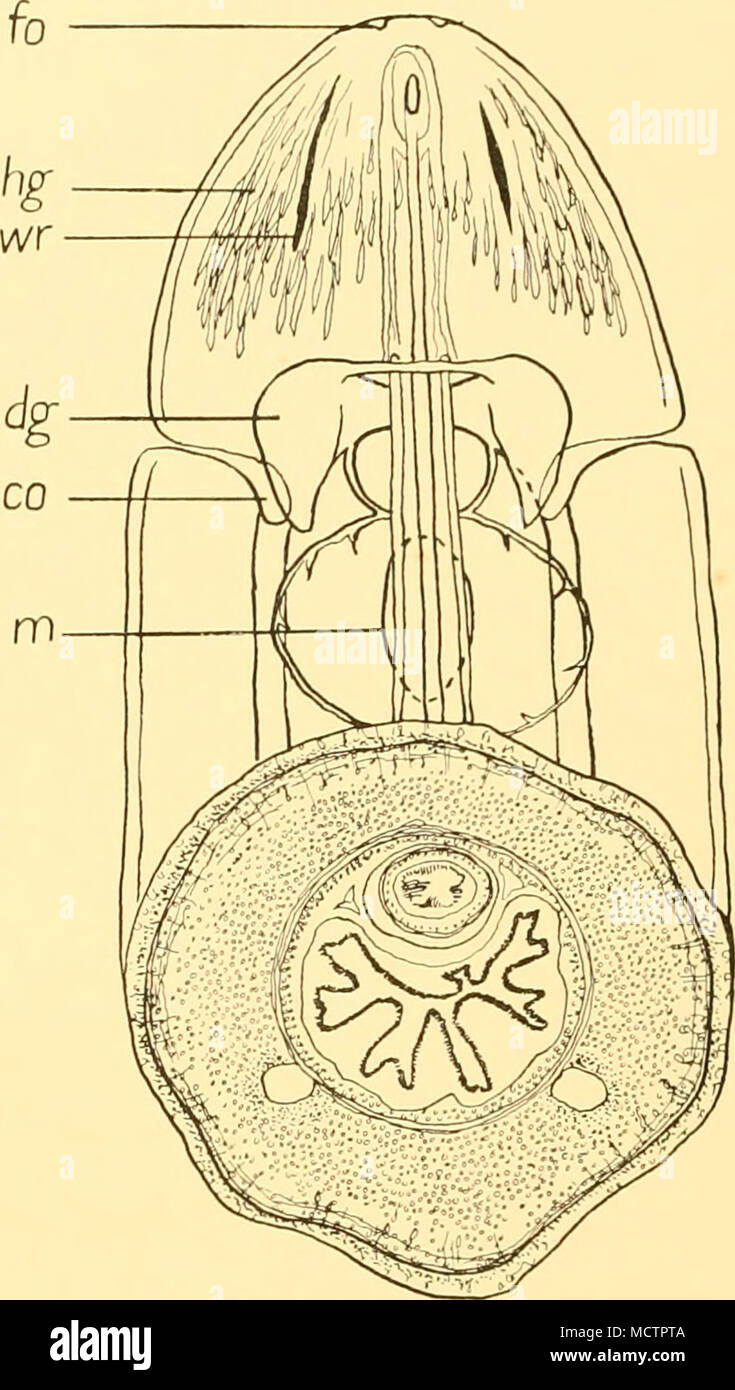 Fig. 20. Baseodiscus antarcticus, Baylis. Diagrama de los órganos en ...