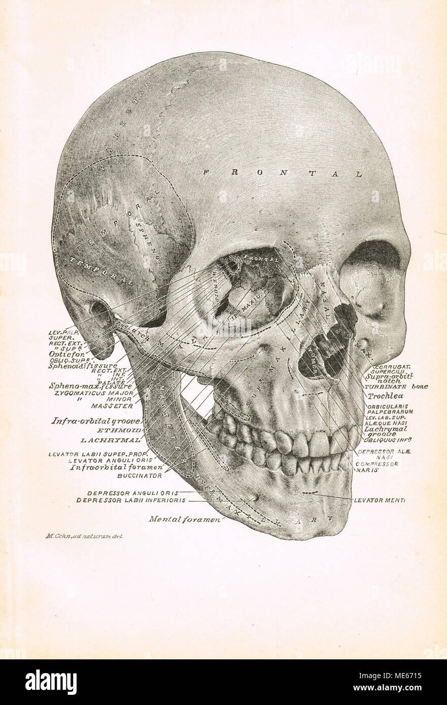 Cráneo humano ilustración del siglo XIX Foto & Imagen De Stock ...
