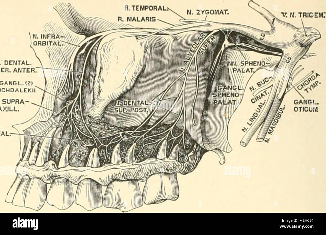 Charmant Quer Foramen Galerie - Anatomie Und Physiologie Knochen ...