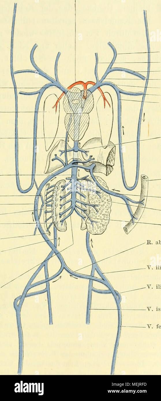 Großzügig Koronararterie Diagramm Anatomie Ideen - Menschliche ...