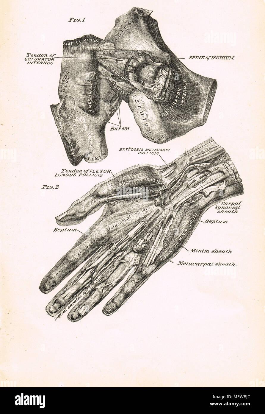 Magnífico Diagrama De La Anatomía De La Cadera Colección - Anatomía ...