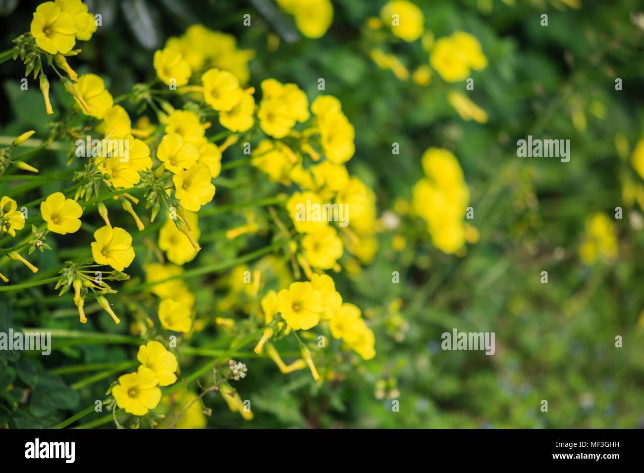 Amarillas Pequenas Flores Silvestres En La Pradera Y Borrosa De