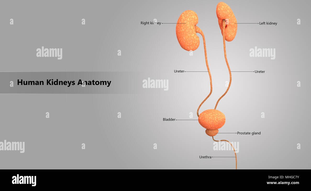 Sistema urinario humano riñones con la anatomía de la vejiga ...