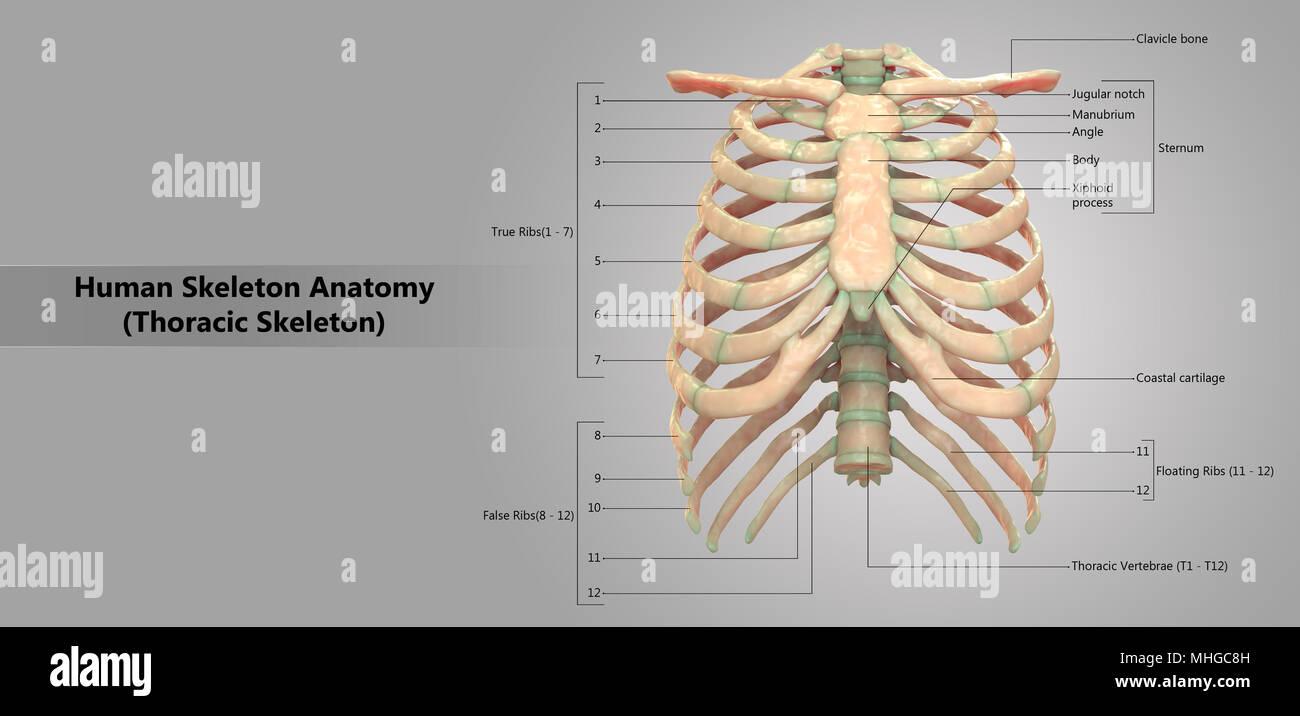 Sistema de esqueleto humano esqueleto torácico con etiqueta de ...