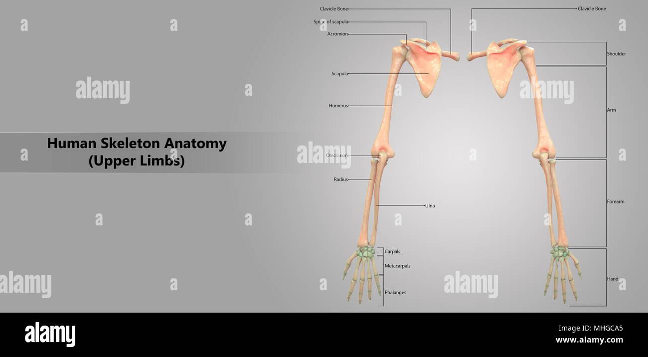 Esqueleto Humano extremidades superiores del sistema con diseño de ...