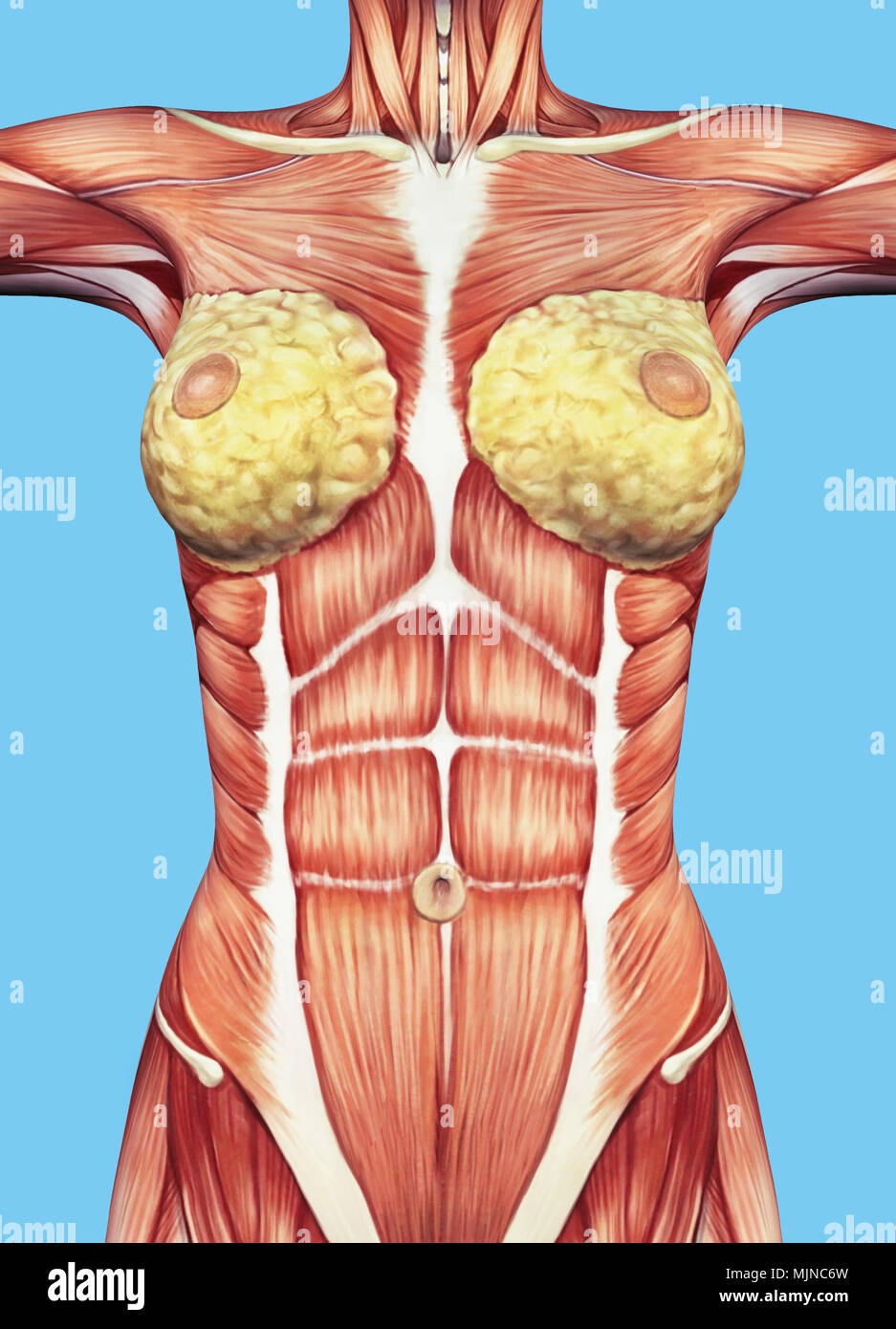 Anatomía del pecho femenino y el torso con los principales grupos ...