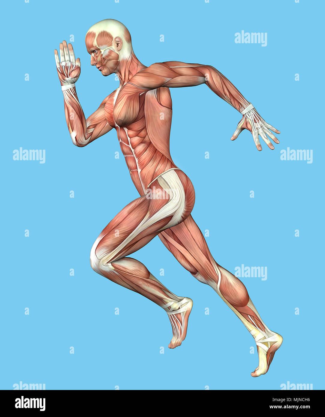 Anatomía muscular del varón en Ejecutar Motion Foto & Imagen De ...