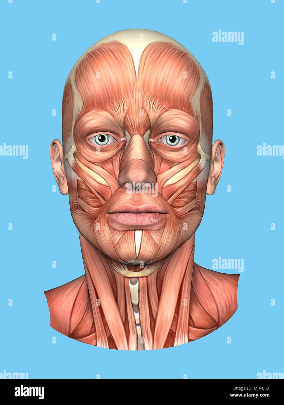 Dorable Anatomía Muscular Correa Modelo - Imágenes de Anatomía ...