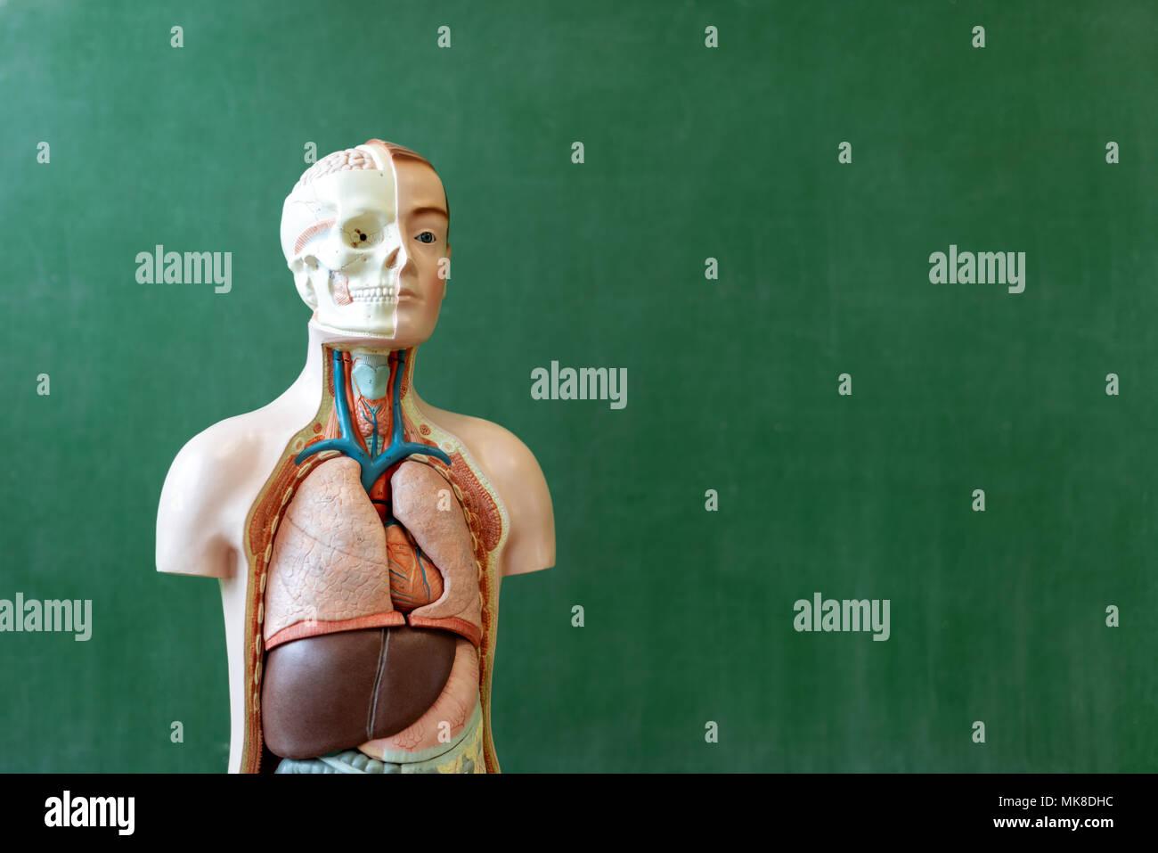 Modelo de cuerpo humano artificial. Clase de biología. Ayuda de ...