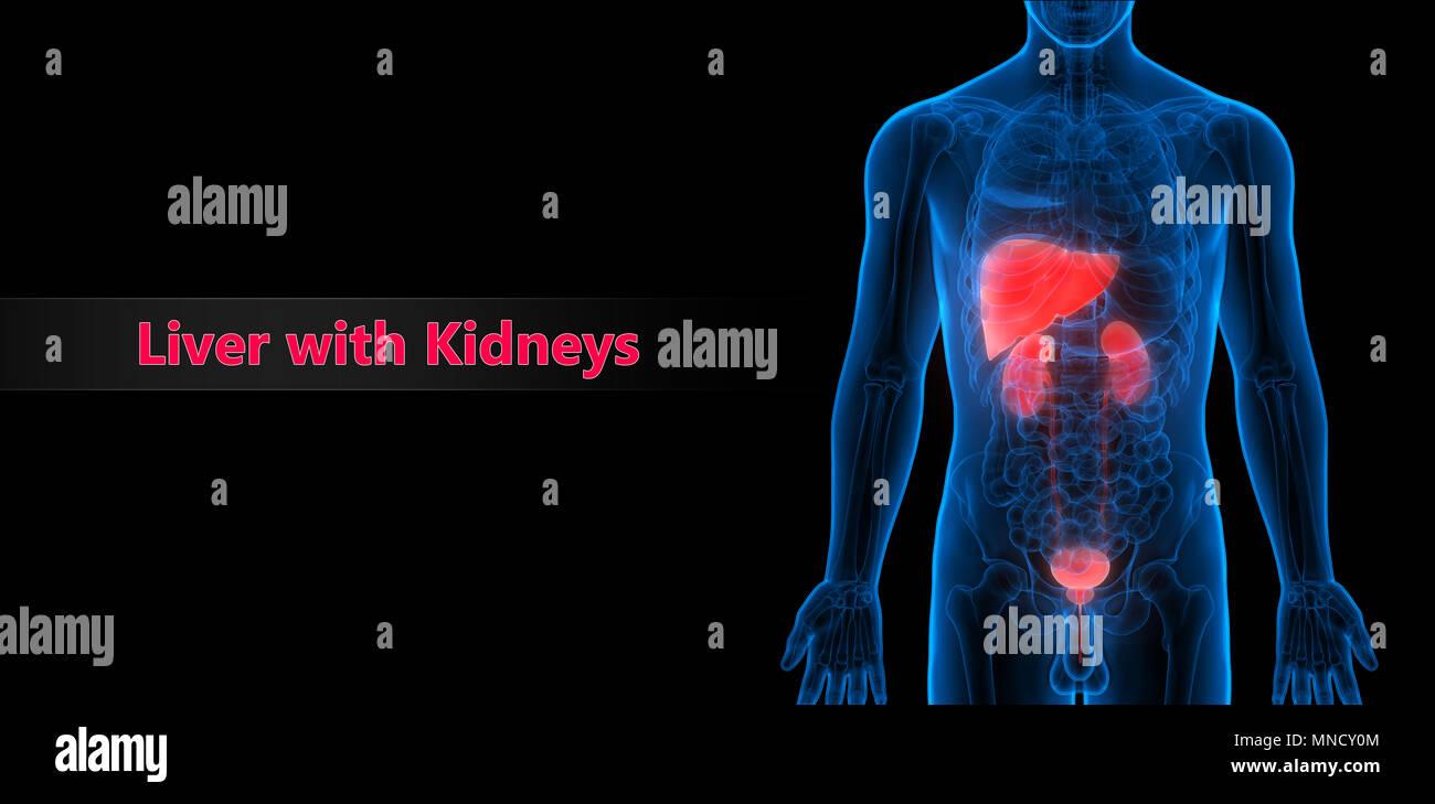 Derechos el hígado, los riñones con la vejiga urinaria Anatomía Foto ...