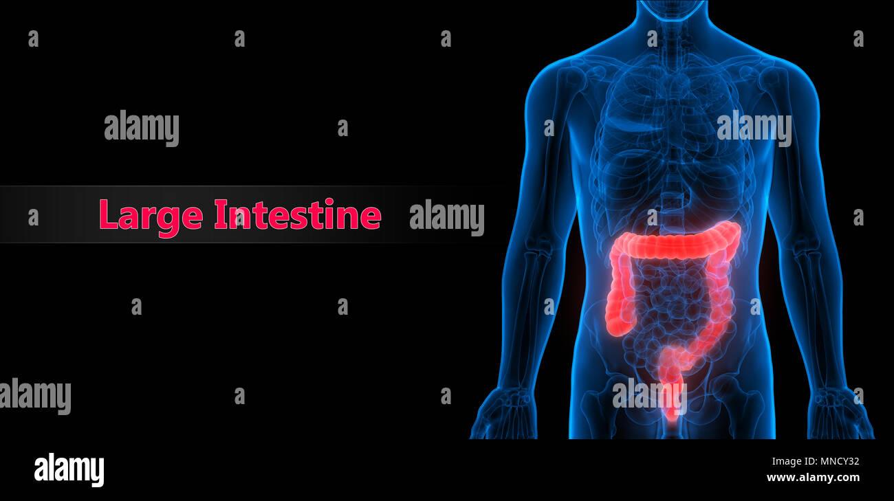 Aparato digestivo humano Anatomía del intestino delgado Foto ...