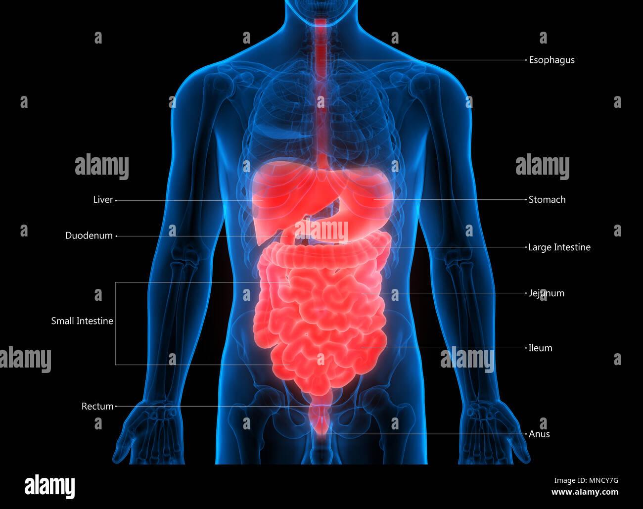 El sistema digestivo Anatomía Humana Foto & Imagen De Stock ...