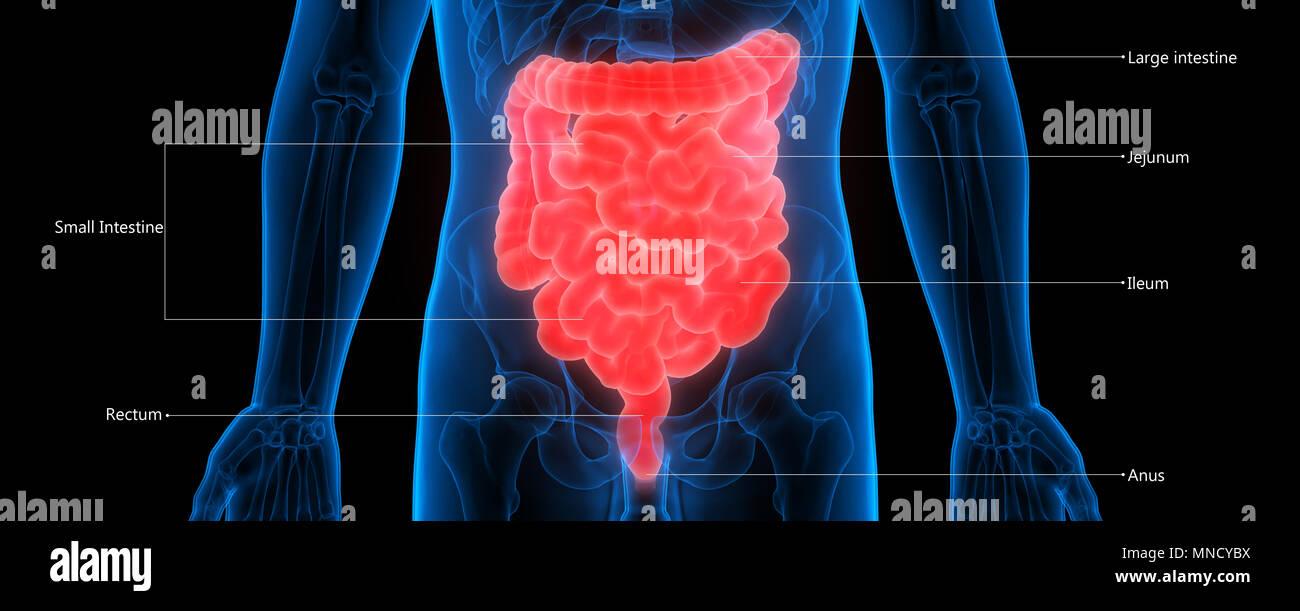 El sistema digestivo humano grande y Anatomía del intestino delgado ...