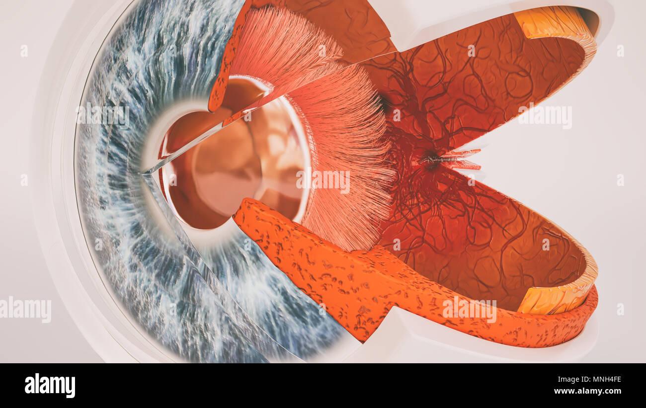 Anatomía del ojo humano muy detallado en la sección transversal Foto ...
