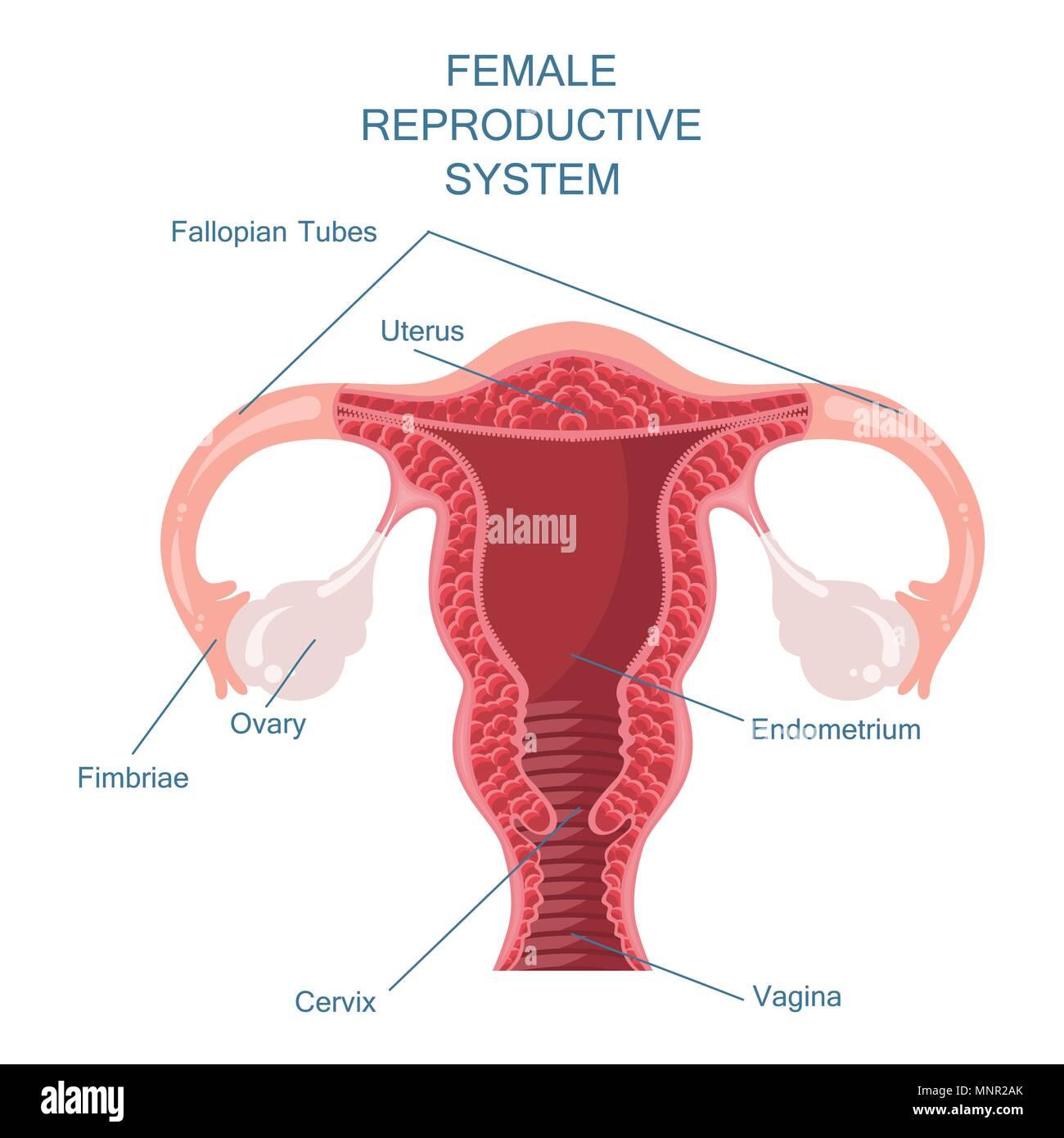 Lujoso Sistema Reproductivo Masculino Etiquetado Hoja De Trabajo ...