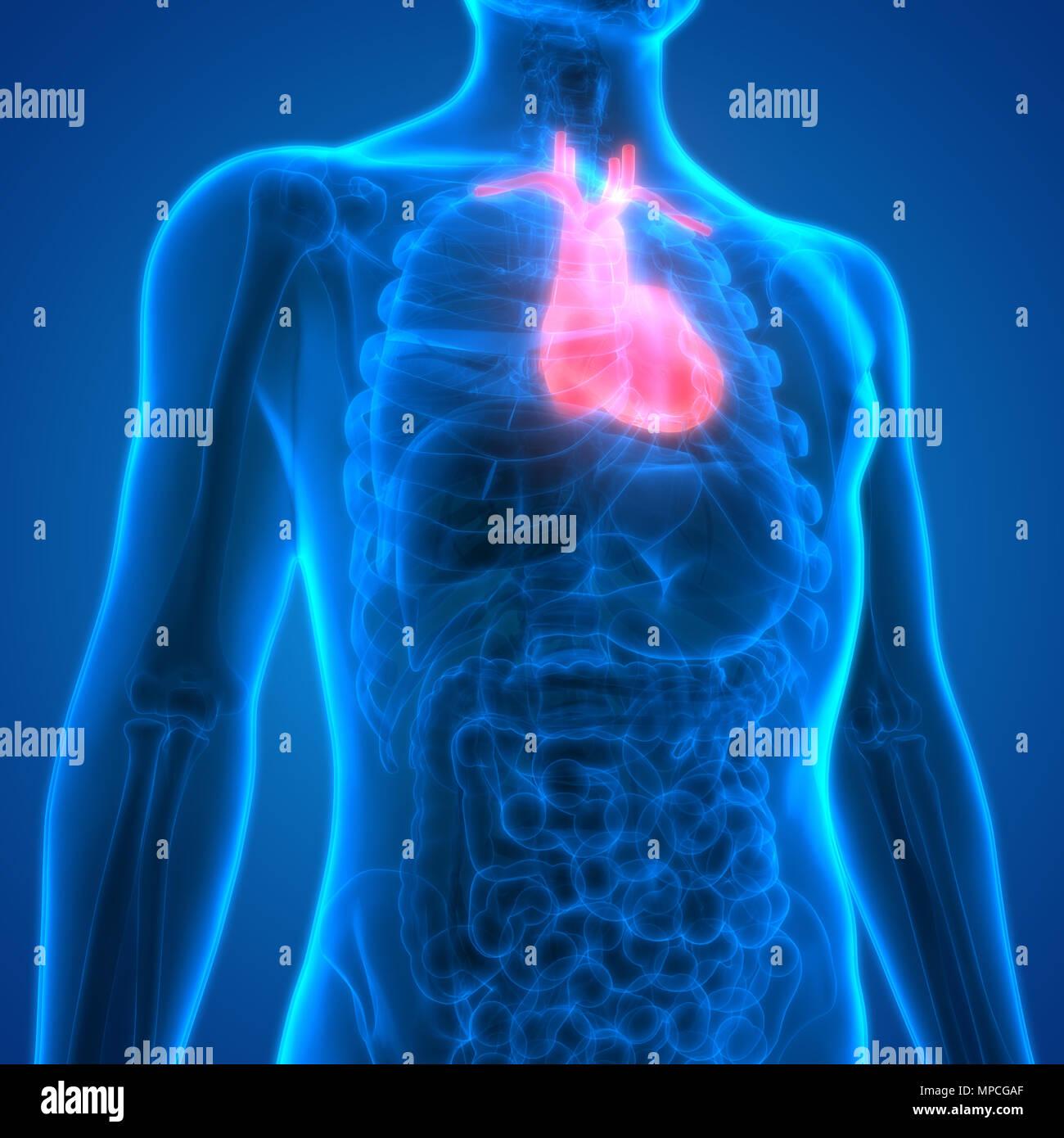 Los órganos del cuerpo humano Anatomía del Corazón Foto & Imagen De ...