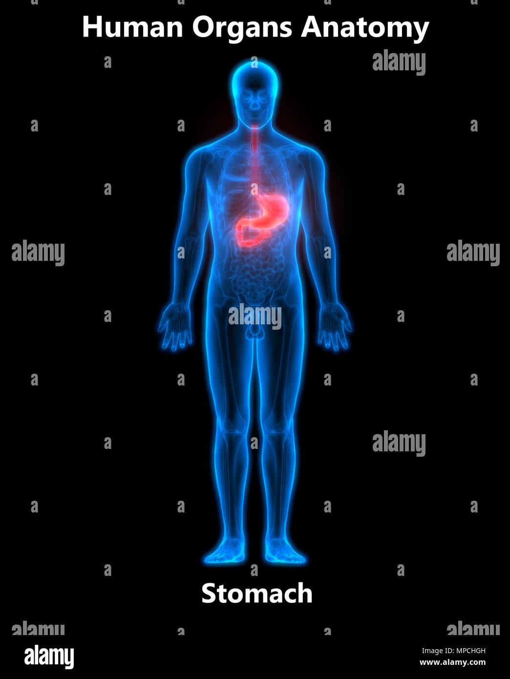 El sistema digestivo Estómago Anatomía Humana Foto & Imagen De Stock ...