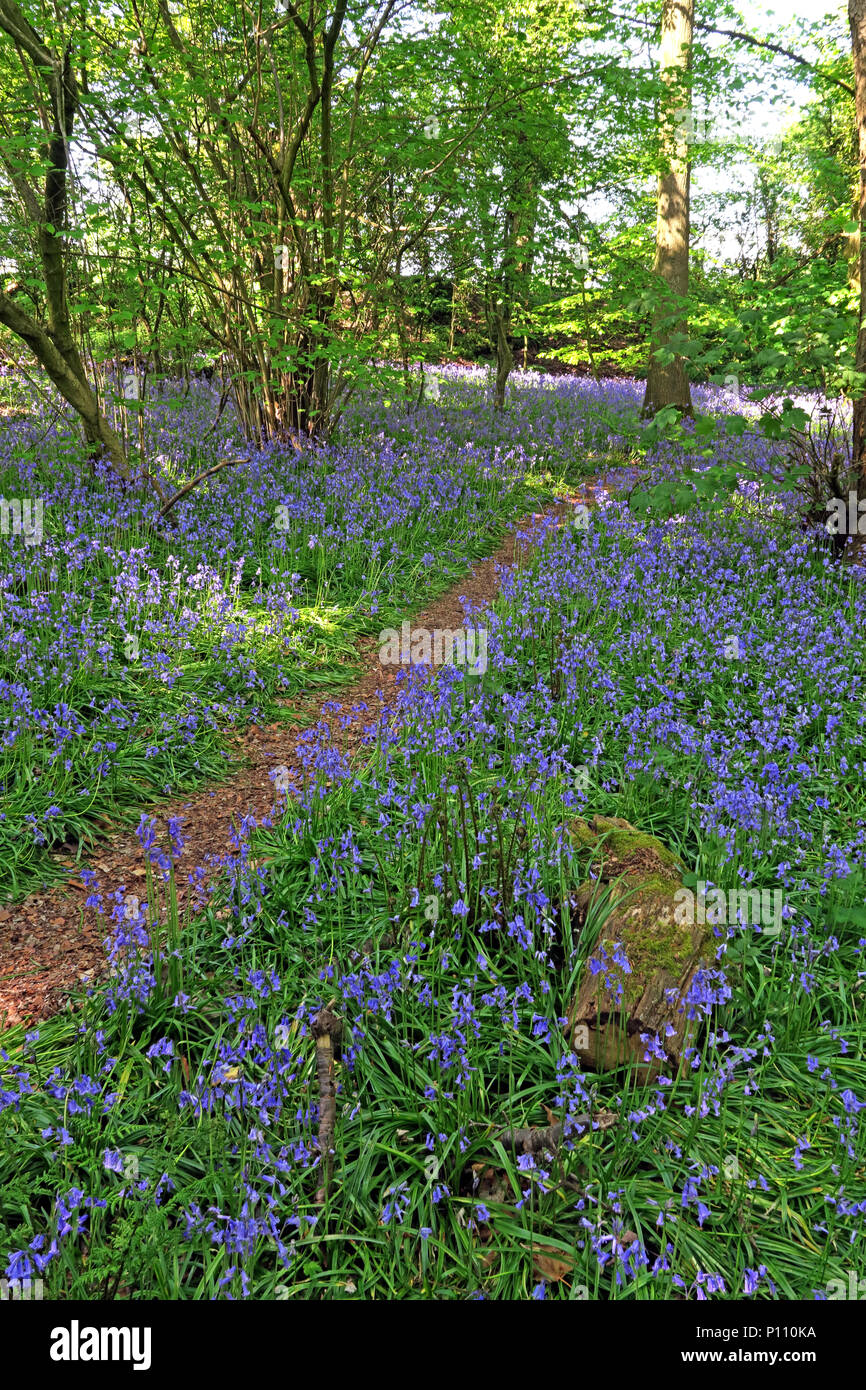 GoTonySmith,@HotpixUK,Bluebell,Bluebells,wood,wooded,Cheshire,England,spring,Hyacinthoides,flowers,blue