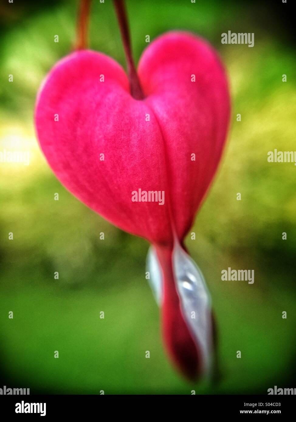 Corazón Sangrando Rojo En Forma De Corazón Con Punta Blanca Flor
