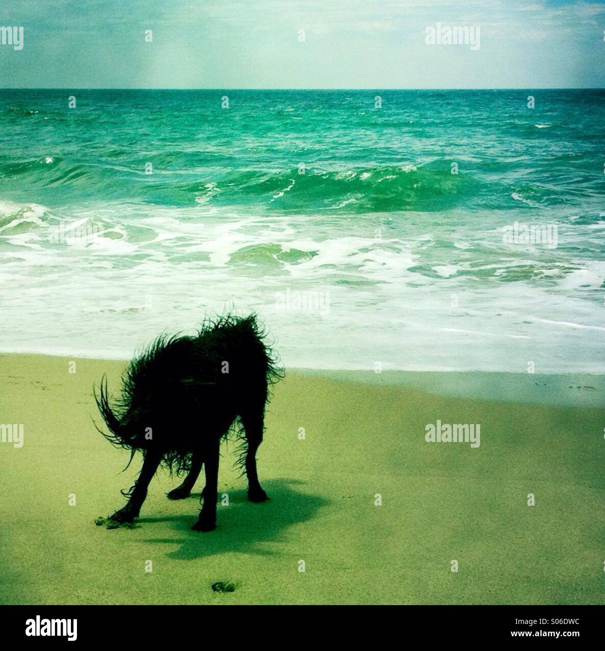 Un negro perro labradoodle shakin fuera del agua en la playa. Ventura California Estados Unidos. Imagen De Stock