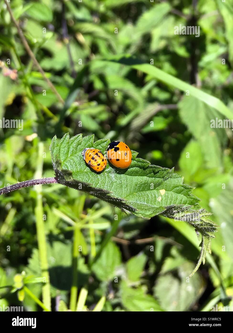 Mariquita y larva pupa en la hoja verde Imagen De Stock