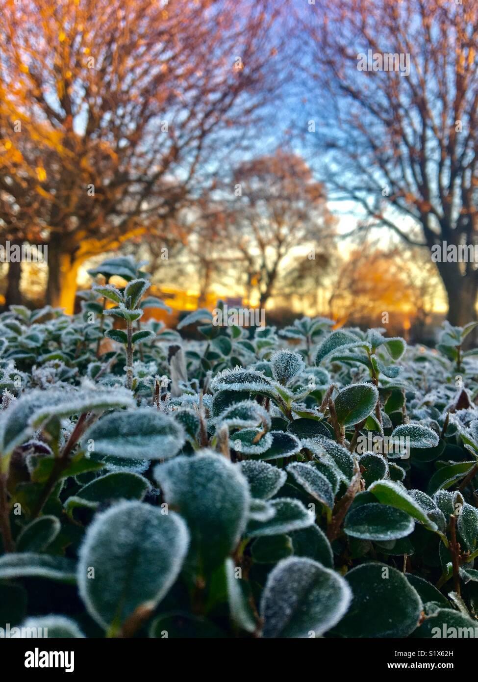 Deja congelado sobre un seto al amanecer con árboles en el fondo Imagen De Stock