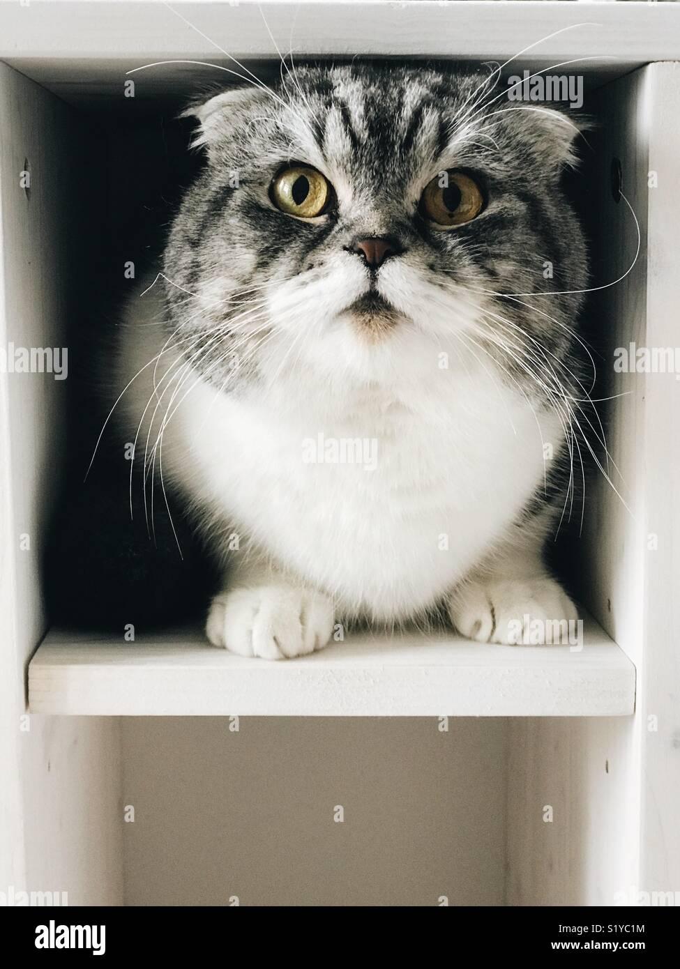 Scottish Fold gato doméstico Imagen De Stock