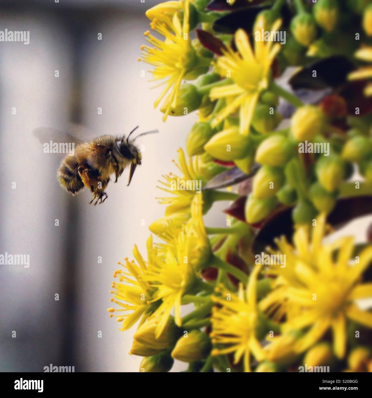 Cerca de abeja polinizando una flor amarilla Imagen De Stock