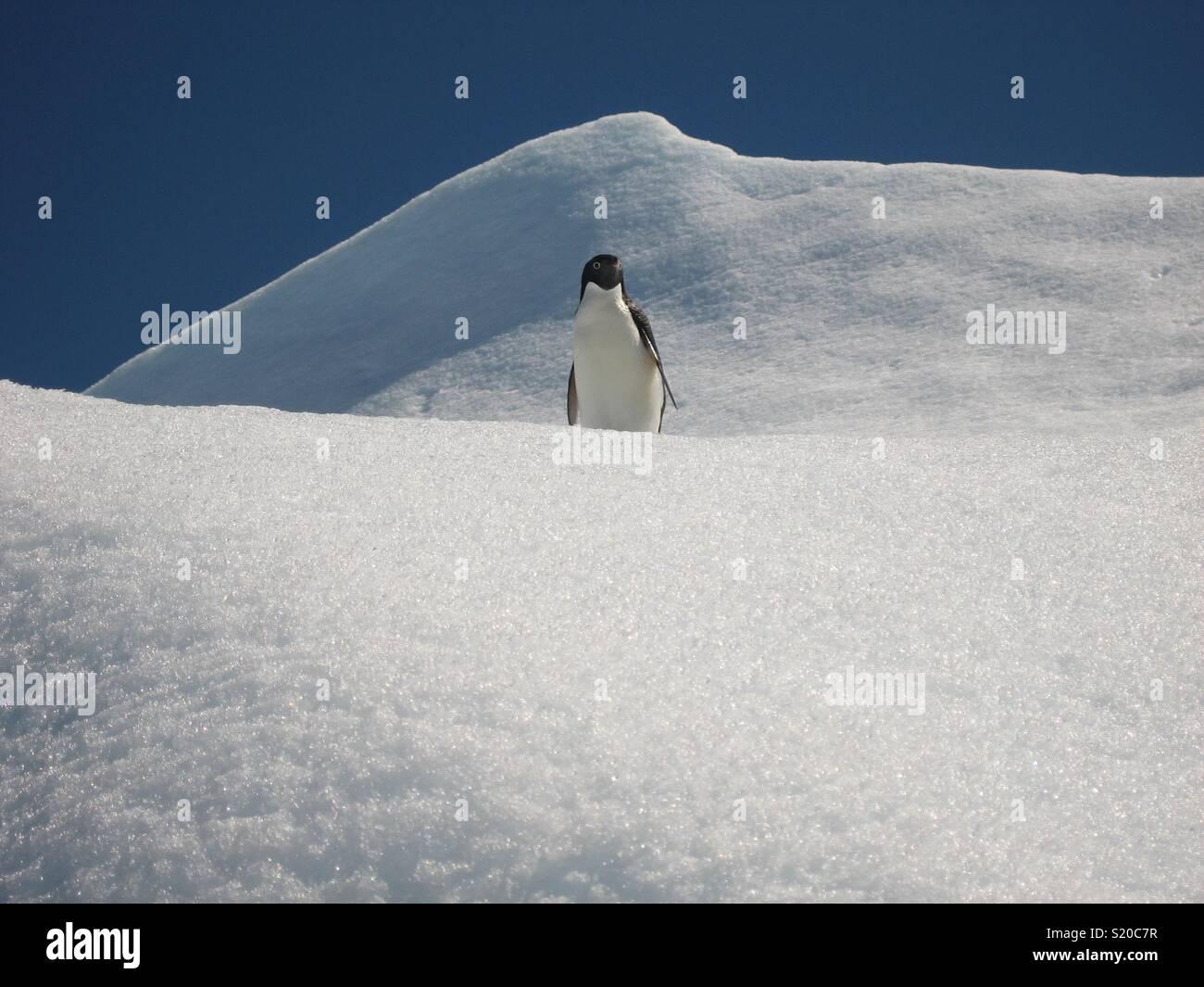 Pingüinos Adelie, Península Antártica. Imagen De Stock