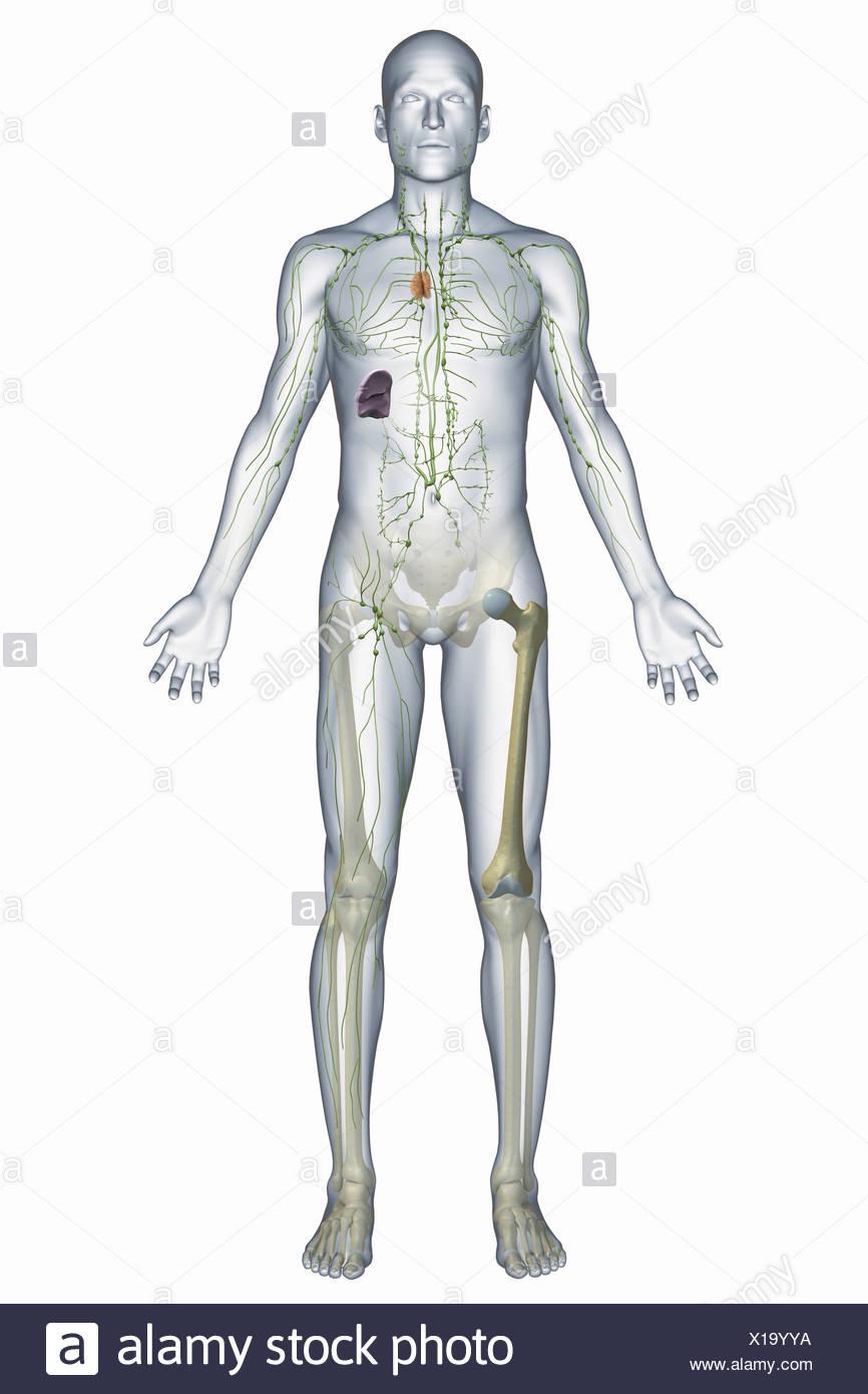 Una representación del sistema inmunitario humano incluyendo los ...