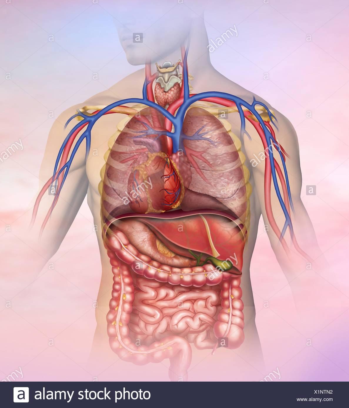Ilustración anatómica y descriptiva del tórax y abdomen del cuerpo ...