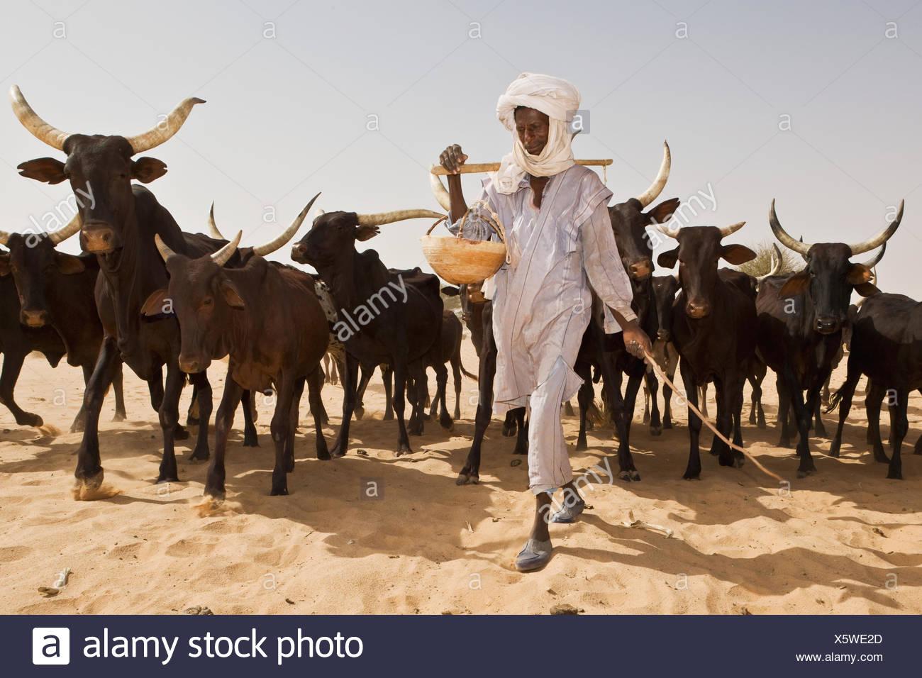 Resultado de imagen de GANADO EN EL SAHARA
