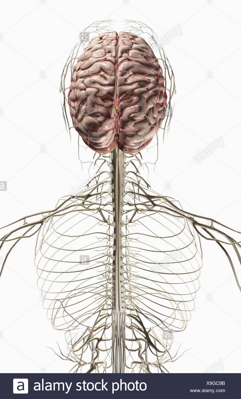 El cerebro y los nervios de la cabeza y cuello Foto & Imagen De ...