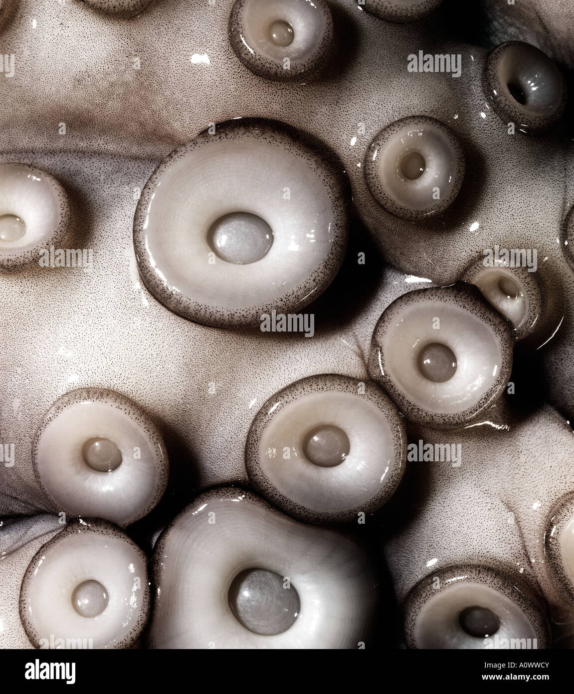 Le poulpe cuit pas close up de drageons Octopus Photo Stock