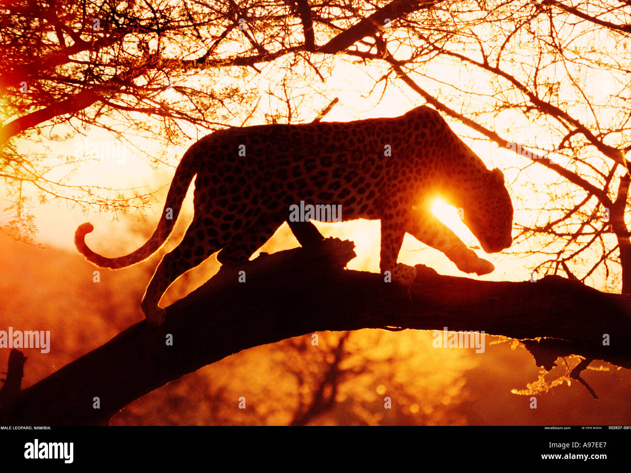 Léopard de Namibie Photo Stock