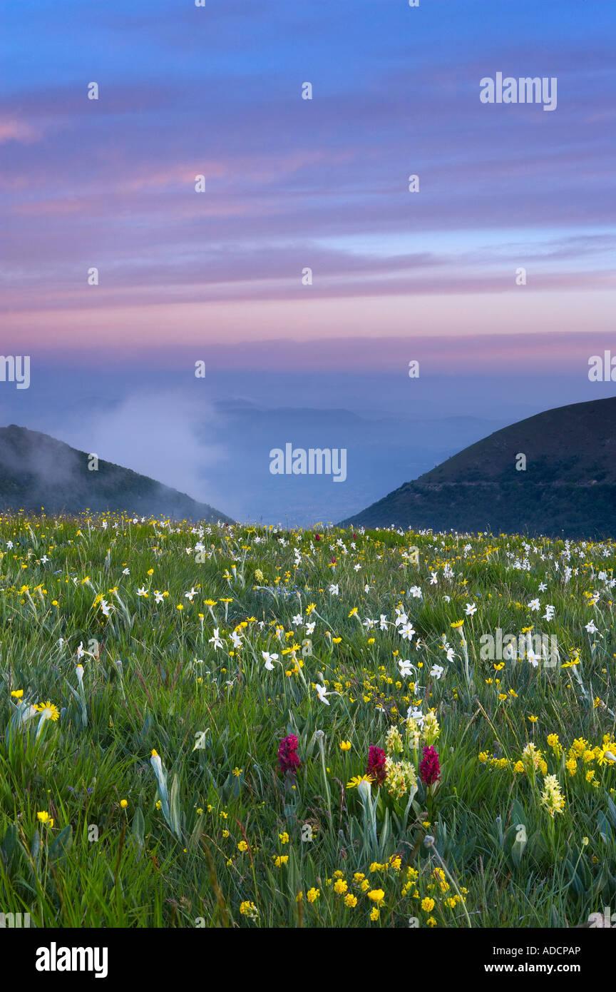 Fleurs sauvages de croître à la Forca Canapine Parc national Monti Sibillini Ombrie Italie NR Photo Stock