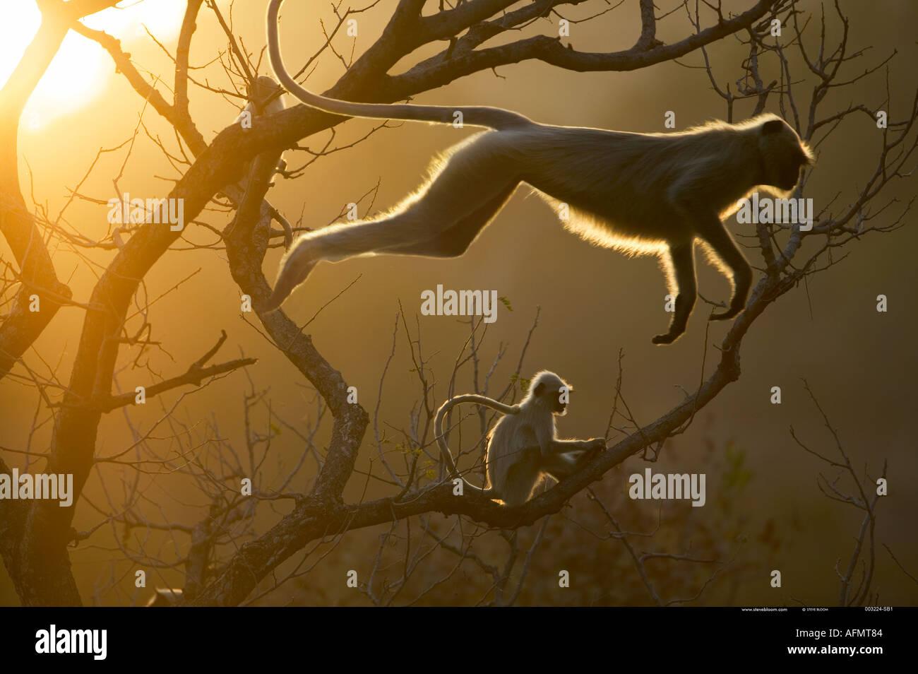 Langur Hanuman sautant sur la cime des arbres, l'Inde Bandhavgarh Photo Stock