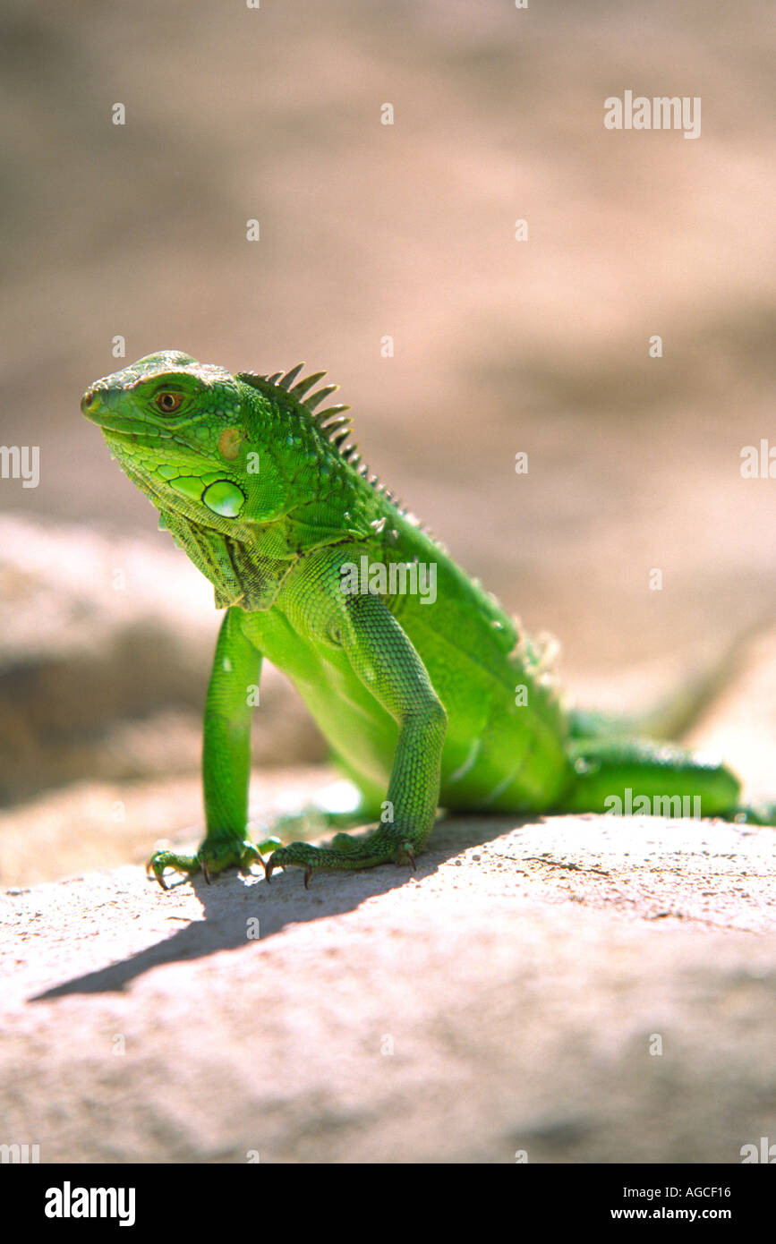 Un iguane vert, posant pour une photographie dans la magnifique île d'Aruba Photo Stock