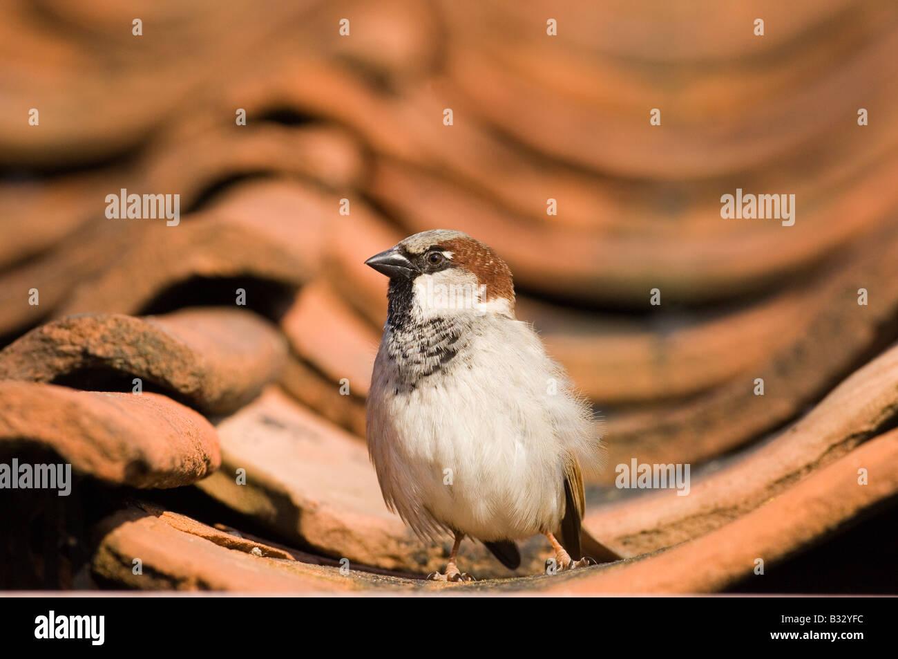 Moineau domestique Passer domesticus sur toit de tuiles printemps Norfolk Photo Stock