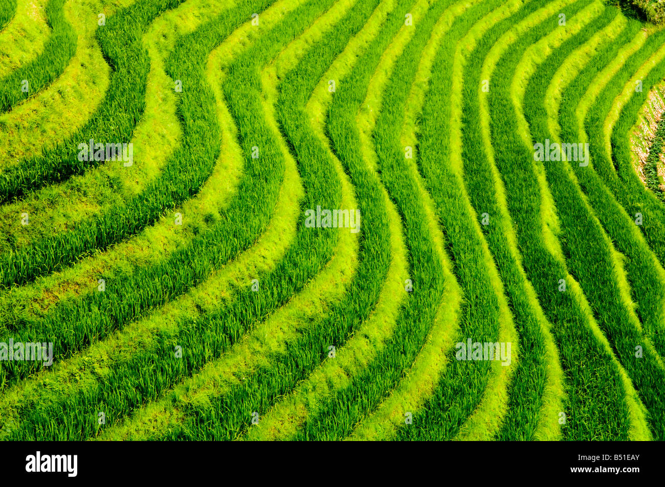 L'étonnante des terrasses de riz à long Ji, Guangxi Photo Stock