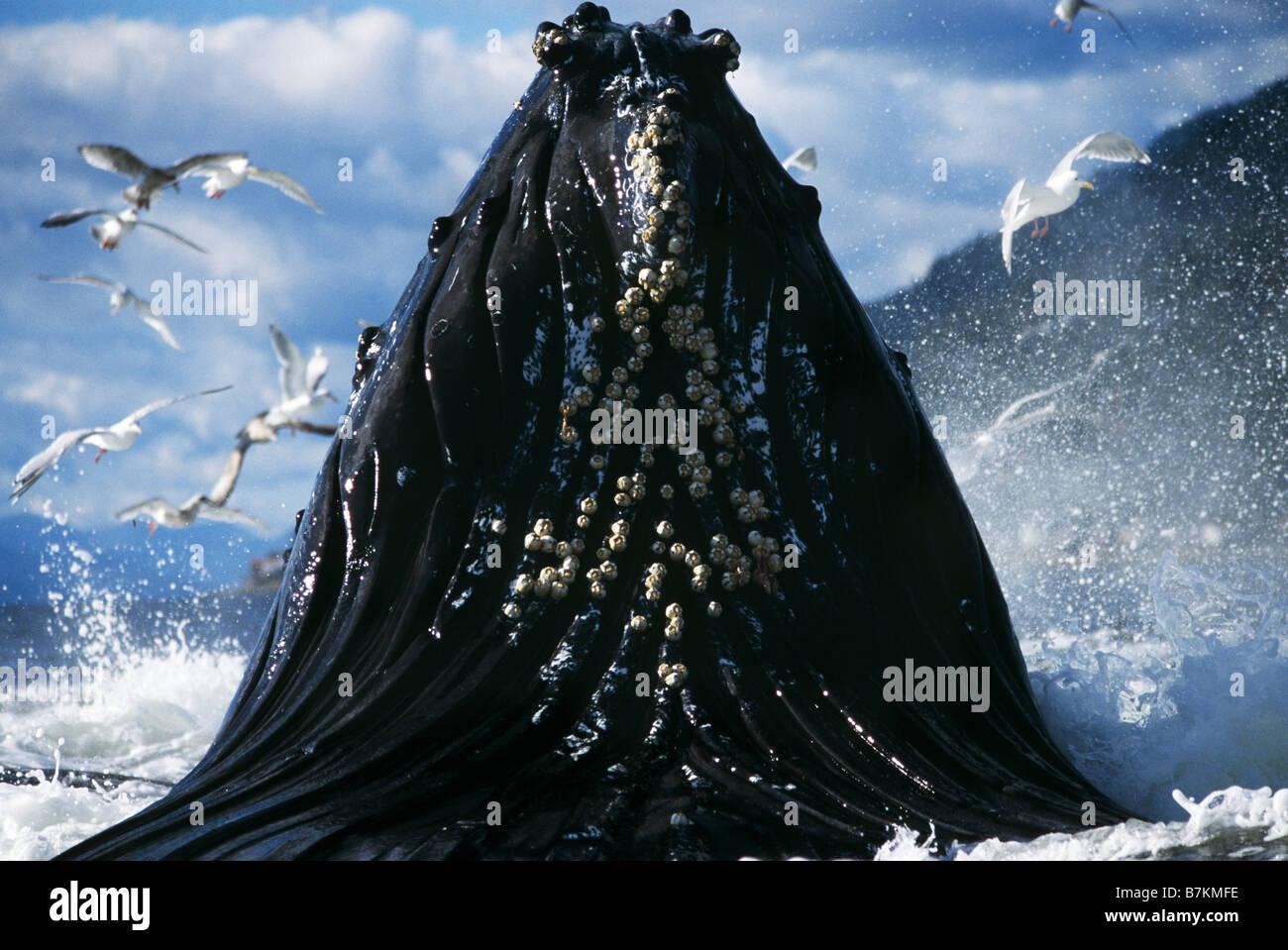 Baleine à bosse sur une jambe, l'alimentation d'entrée Tenakee, sud-est de l'Alaska Photo Stock