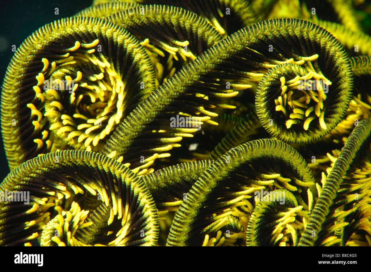 Feather star arms Photo Stock