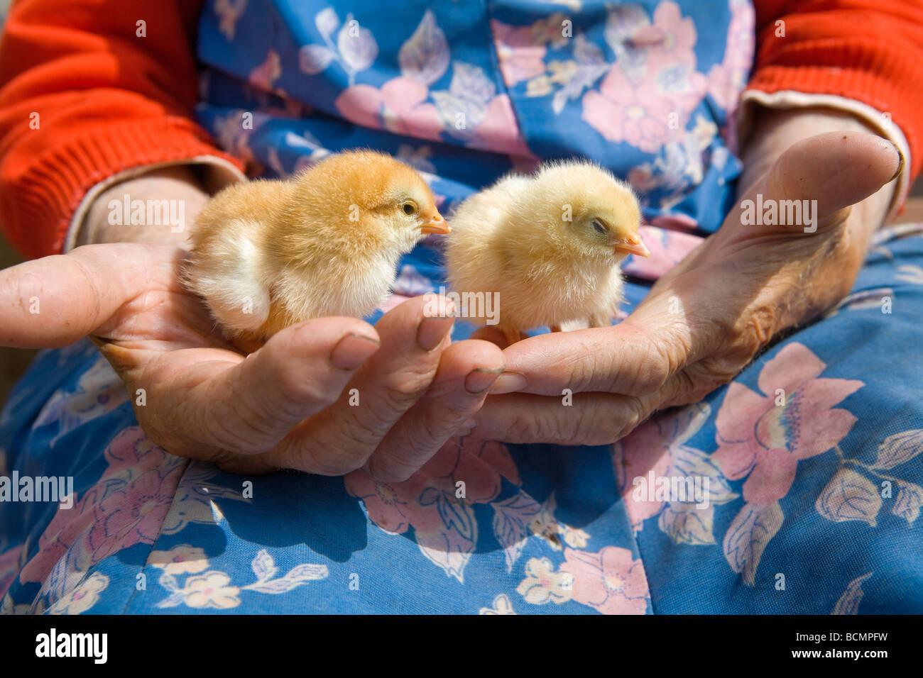 Vieux Paysan woman holding poulet dans ses mains ridées Photo Stock