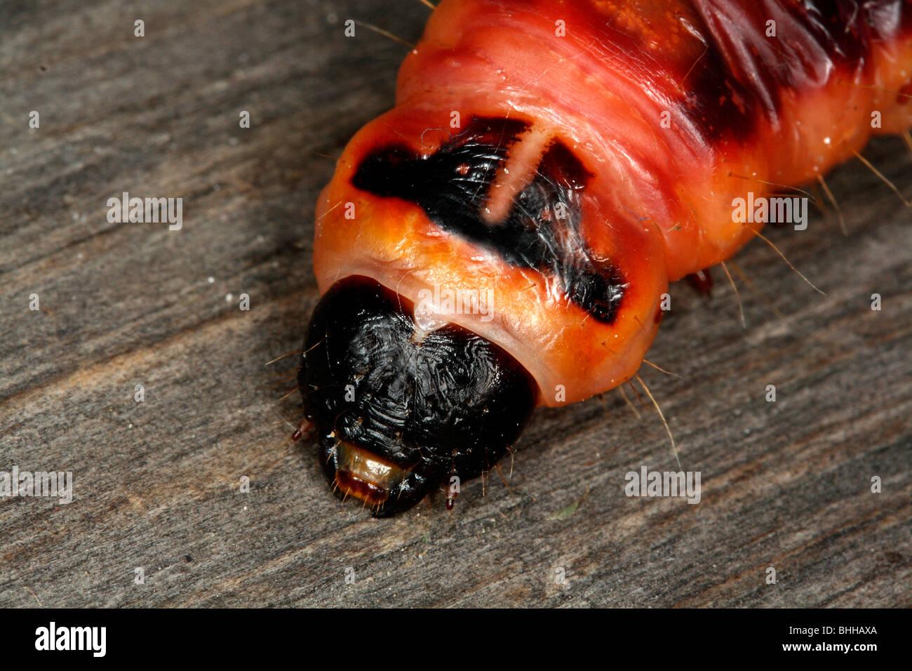 Espèce de chèvre caterpillar, close-up, en Suède. Photo Stock