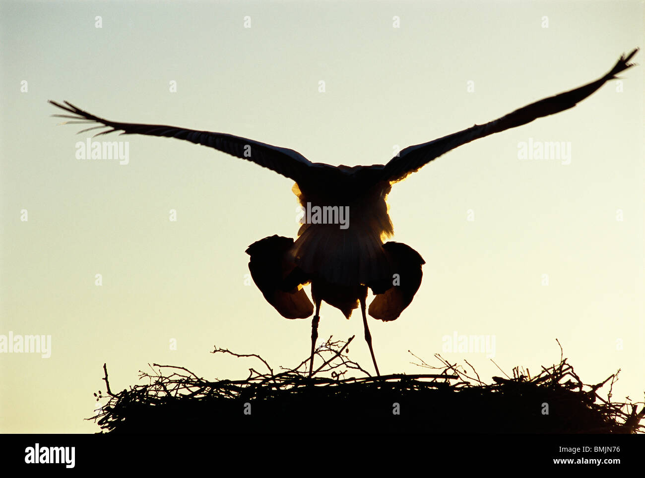 Accouplement des cigognes Photo Stock